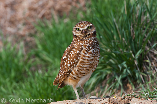 Female burrowing owl outside nest entrance