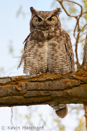 Adult great-horned owl