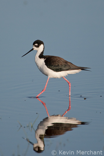 Black-necked stilt wading