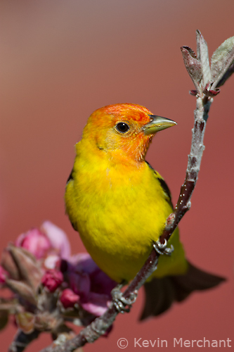 Male western tanager perched in prairie crabapple