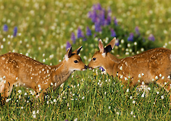 Twin black-tailed fawns, Olympic National Park, Washington