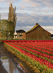 Red tulips and barn, Skagit Valley, Washington