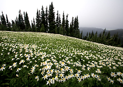 Avalanche lilies and fir trees, Olympic National Park, Washington