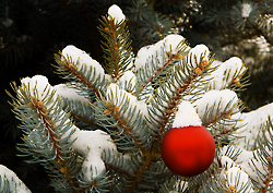 Red ornament and blue spruce, Grand Junction, Colorado