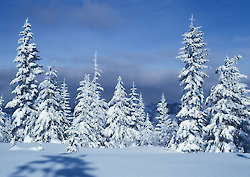 Snow covered firs, Stampede Pass, Washington